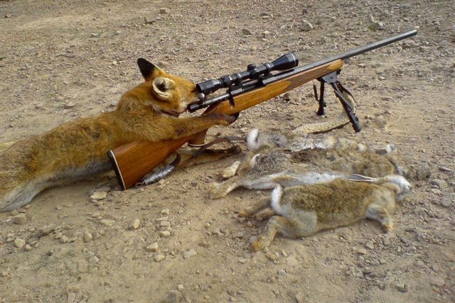 [Image: fox-hunting-for-rabbits.jpg]